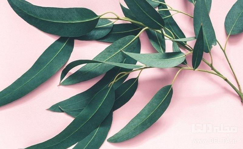 اکالیپتوس داروی گیاهی در درمان سینوزیت
